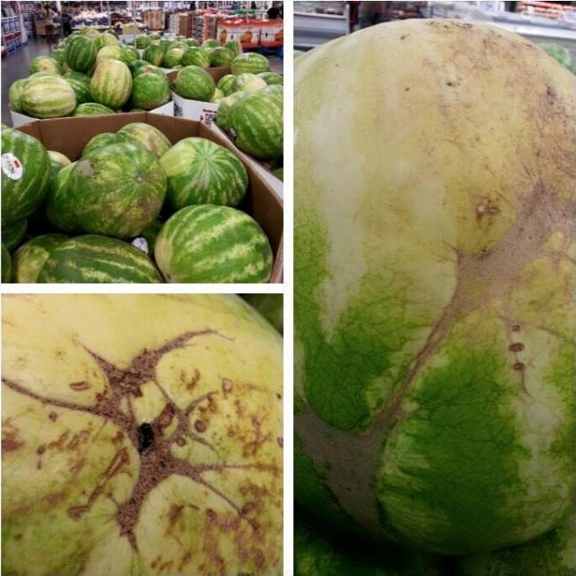 الخطوط المتقاطعة على البطيخ