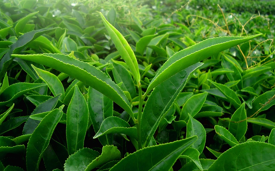 ما الفرق بين الشاي الأخضر والشاي الأسود؟
