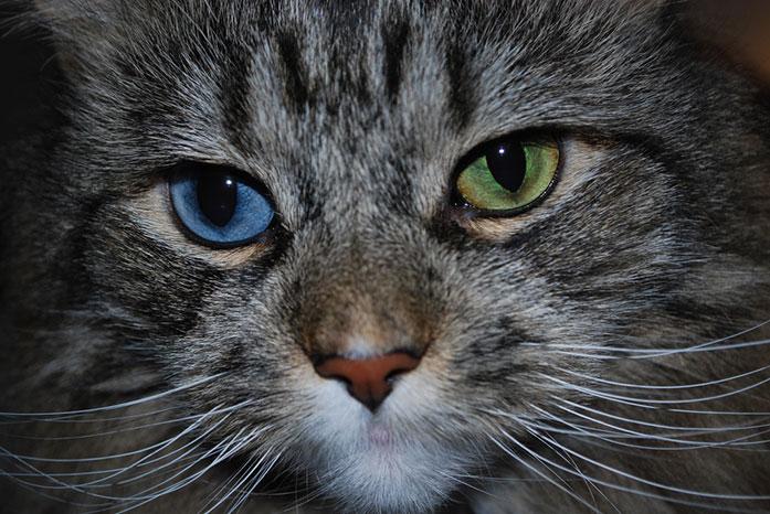 تغاير لون القزحيتين عند الحيوانات
