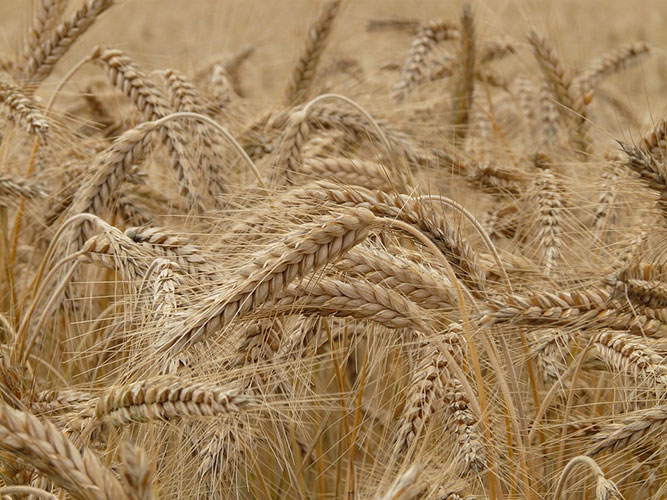 الفرق بين الحنطة والقمح