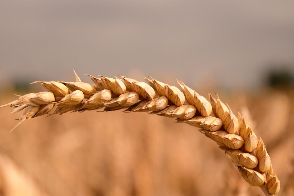 سنبلة القمح